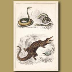 Viper, Rattlesnake, Crocodile