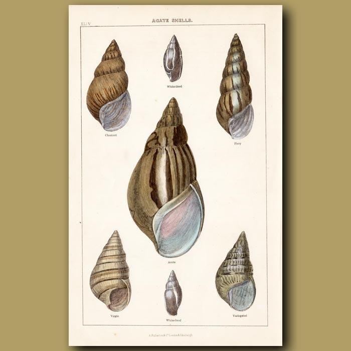 Antique print. Agate Shells