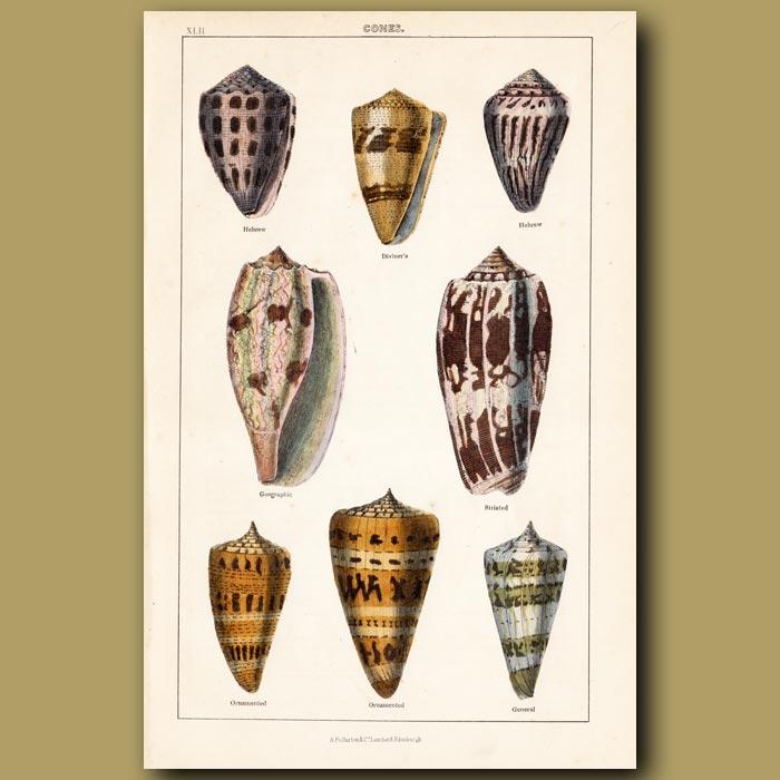 Antique print. Cone Shells