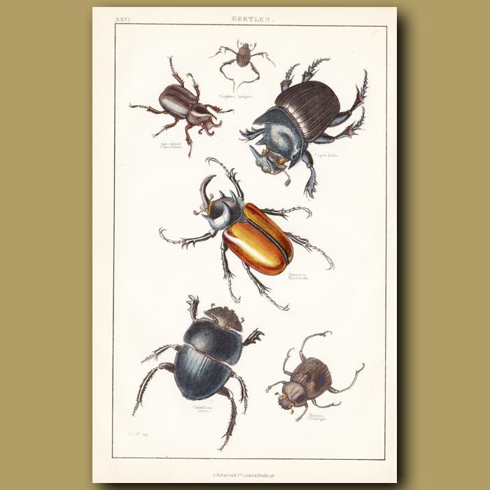 Antique print. Beetles