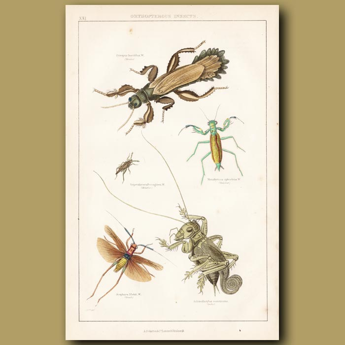 Antique print. Insects