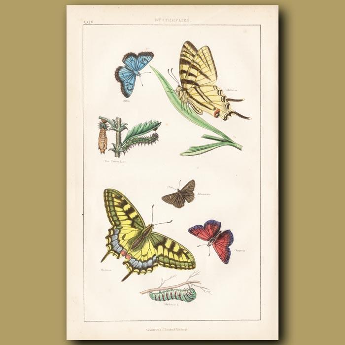 Antique print. Butterflies
