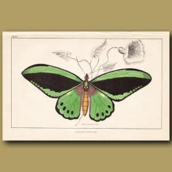 Imperial Trojan Butterfly