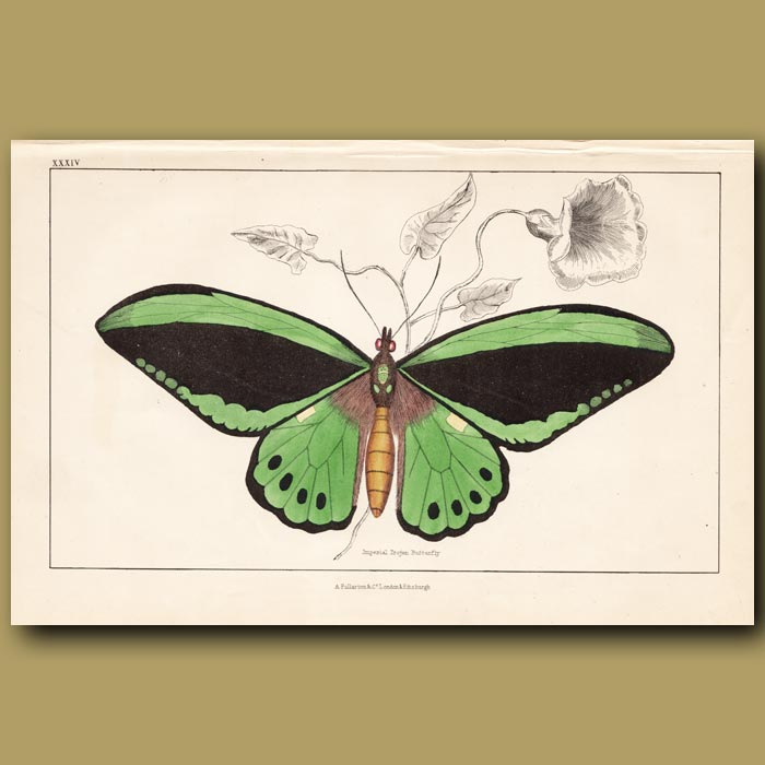 Antique print. Imperial Trojan Butterfly