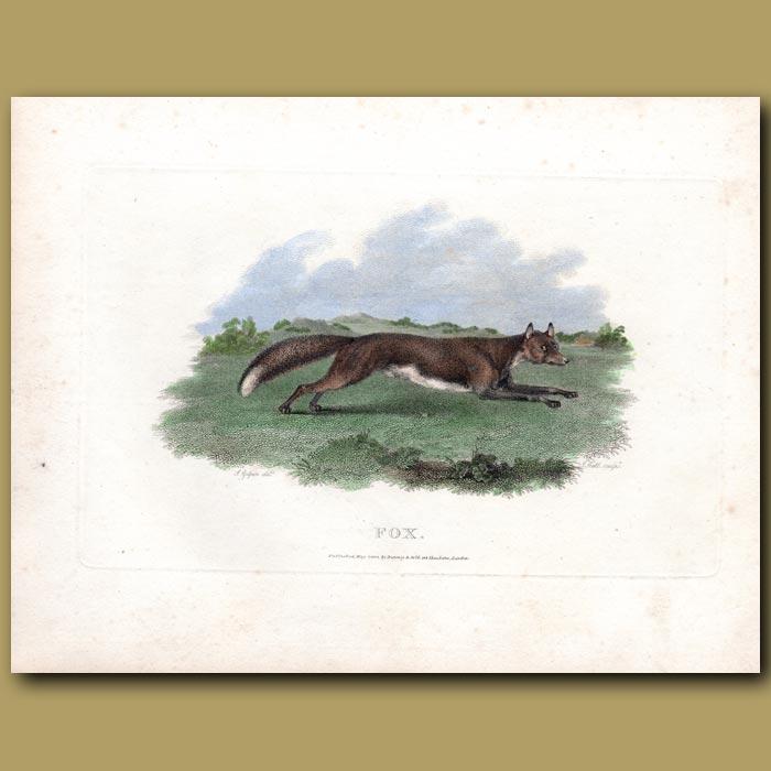 Antique print. Fox