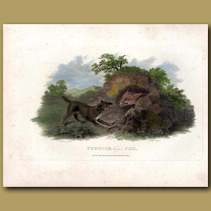 Antique print. Terrier and Fox