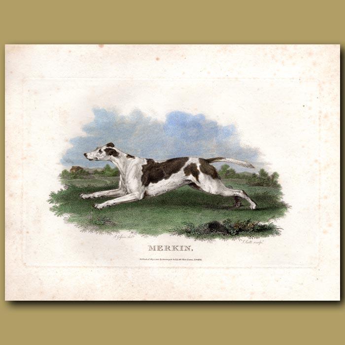 Antique print. Merkin – Foxhound