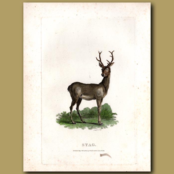 Antique print. Stag