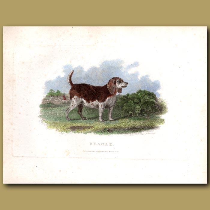 Antique print. Beagle