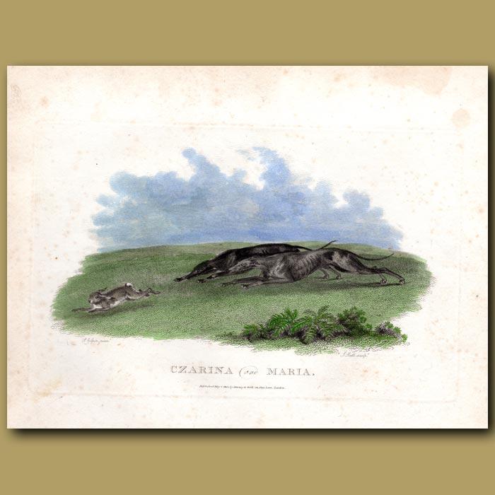 Antique print. Czarine and Maria – Greyhounds