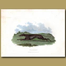 Claret greyhound