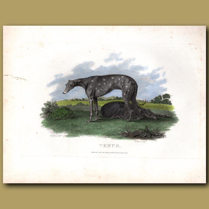 Antique print. Venus greyhound