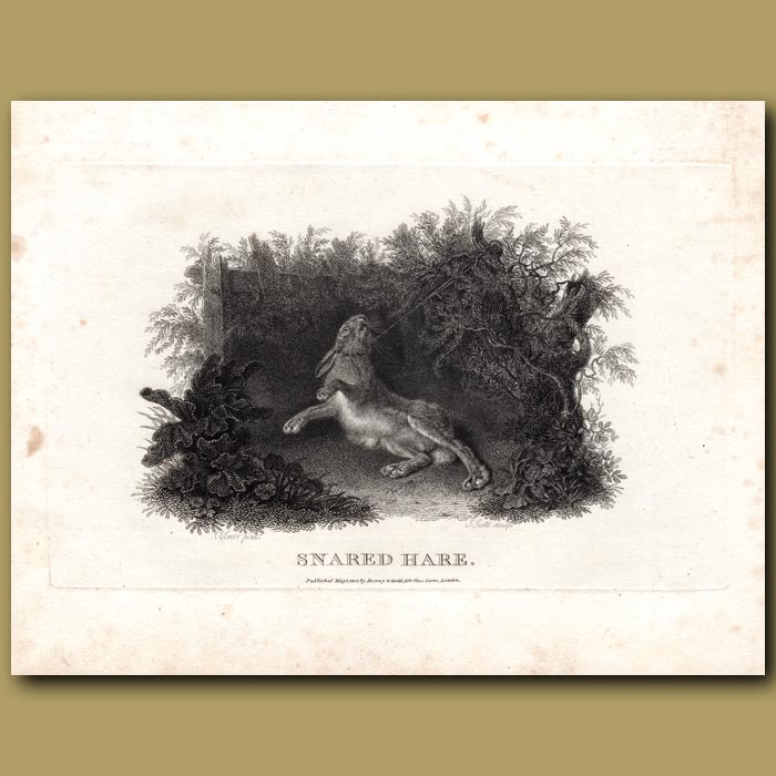 Antique print. Snared Hare