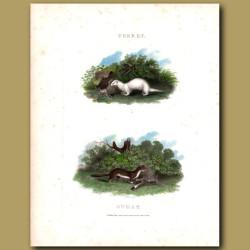Ferret and Stoat