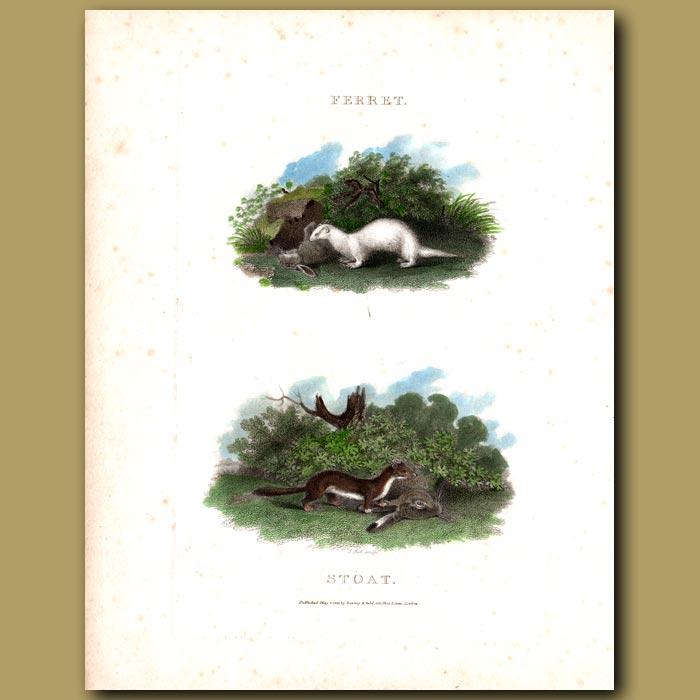 Antique print. Ferret and Stoat
