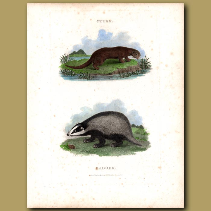 Antique print. Otter and Badger