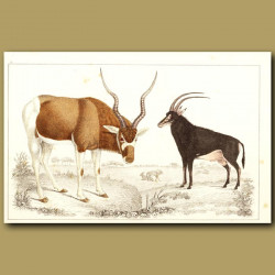 Addax Antelope And Sable Antelope