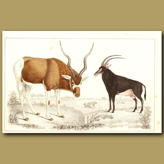 Antique print. Addax Antelope And Sable Antelope