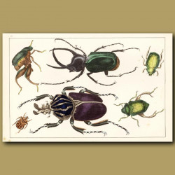 Goliath Beetle And Other Beetles