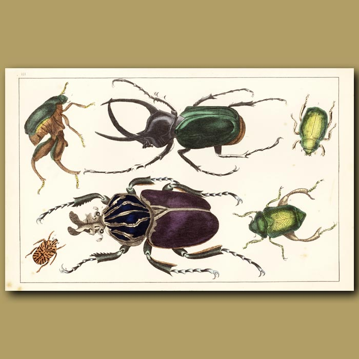 Antique print. Goliath Beetle And Other Beetles