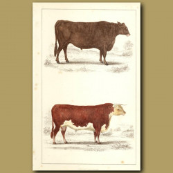 Suffolk Ox And Herefordshire Bull