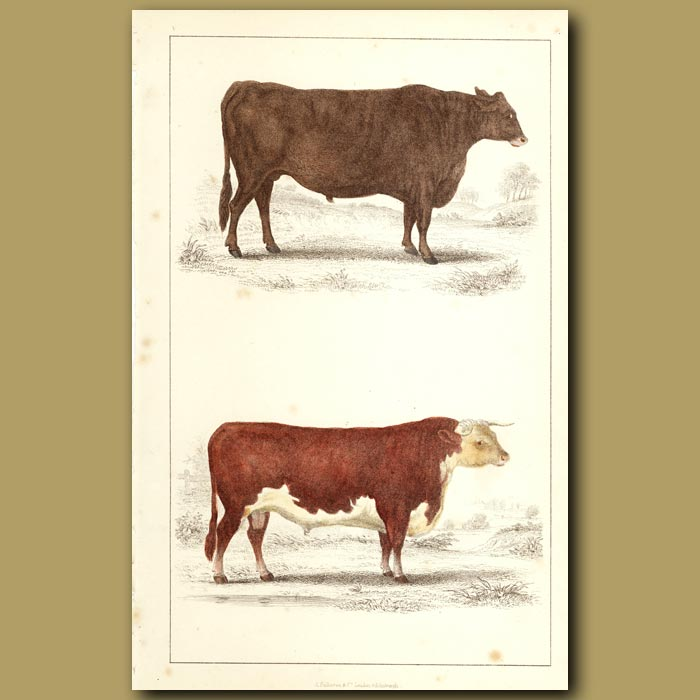 Antique print. Suffolk Ox And Herefordshire Bull