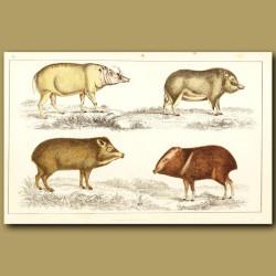 Babyrousa, Chinese Hog, White-Lipped Hog And Collared Hog