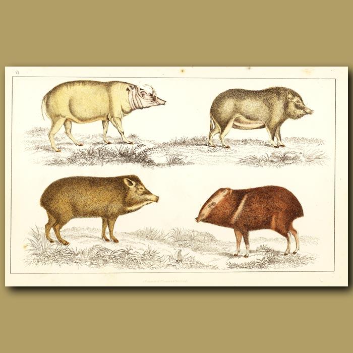 Antique print. Babyrousa, Chinese Hog, White-Lipped Hog And Collared Hog
