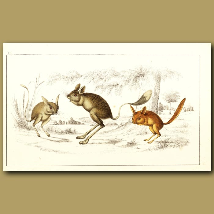 Antique print. Ass-Eared Jerboa, Broad-Tailed Jerrboa And Flat-Tailed Jerboa