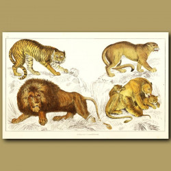 Tiger, Puma, African Lion And Lioness And Cubs