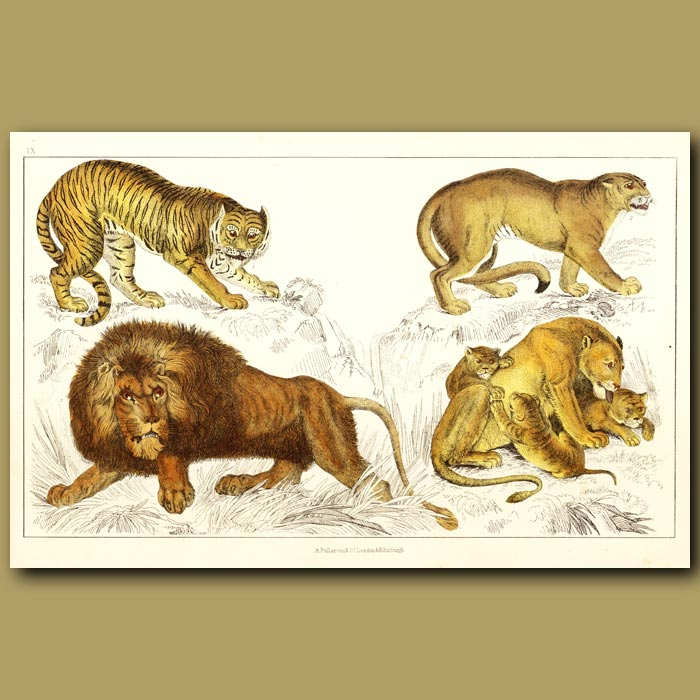 Antique print. Tiger, Puma, African Lion And Lioness And Cubs