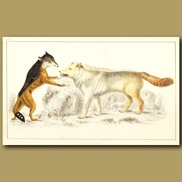 Antique print. Cape Jackal And American Grey Wolf