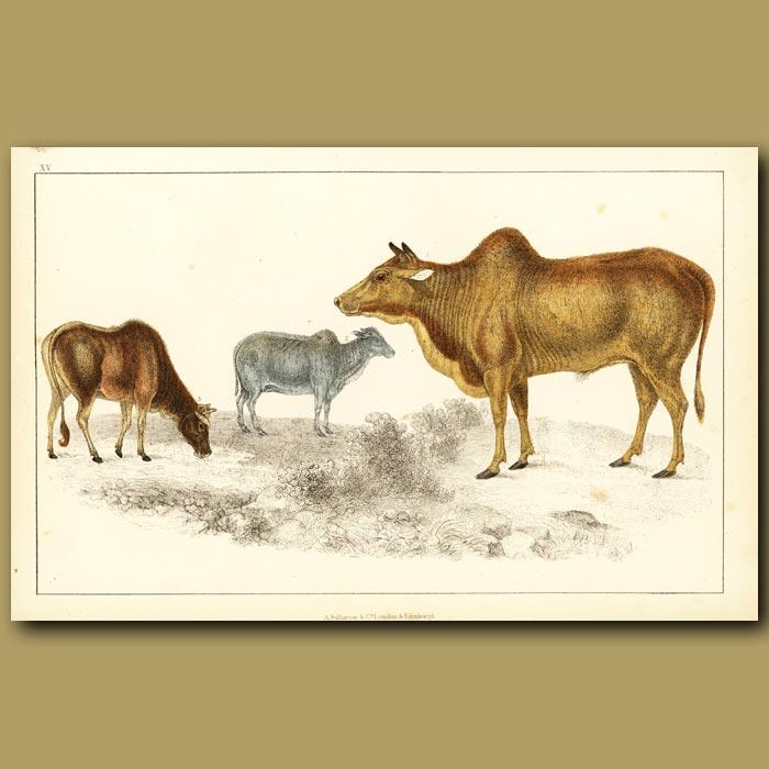 Antique print. Common Zebu And Small Zebu