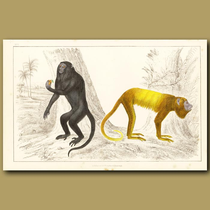 Antique print. Royal Howler And Golden-Tailed Howler Monkeys