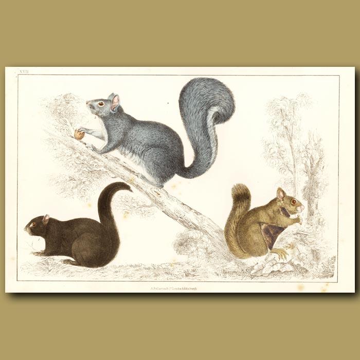 Antique print. Squirrels
