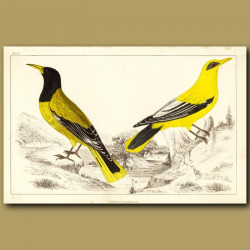 Black-Headed Oriole And Blackcheeked Oriole