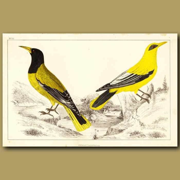 Antique print. Black-Headed Oriole And Blackcheeked Oriole