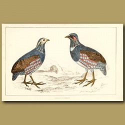 Large-Footed Partridge