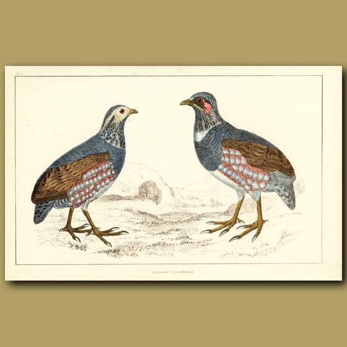 Antique print. Large-Footed Partridge