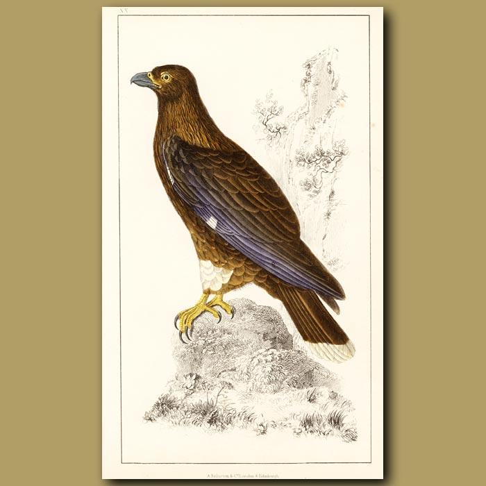 Antique print. New Zealand Caracara (New Zealand Falcon)