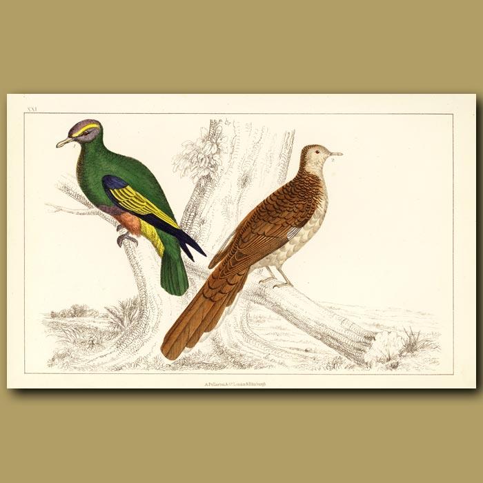 Antique print. Pigeons