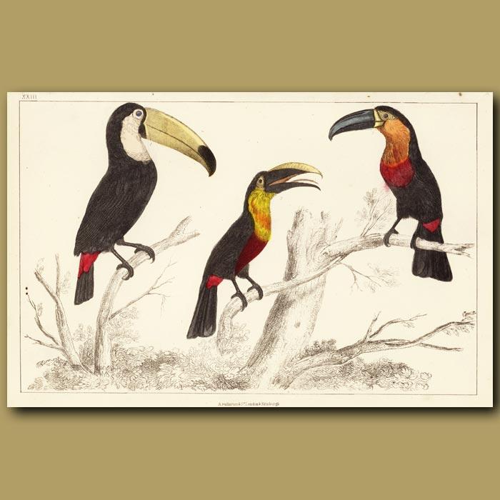 Antique print. Toucans