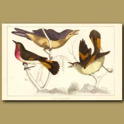 Gnat Catcher Birds