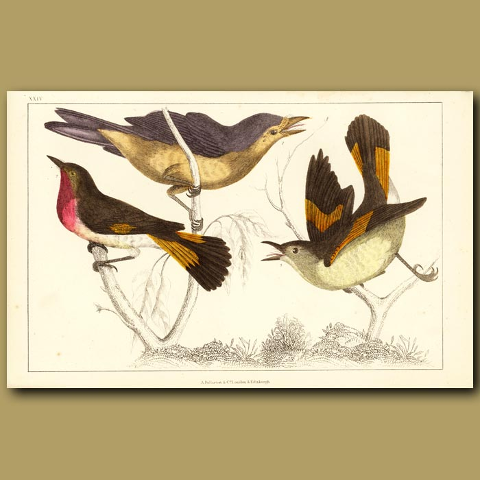 Antique print. Gnat Catcher Birds