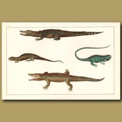 Crocodile Of The Nile, Ornamented Tupinambis, Dragon Lizard And Common Guana