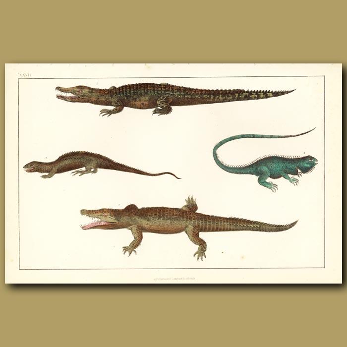 Antique print. Crocodile Of The Nile, Ornamented Tupinambis, Dragon Lizard And Common Guana
