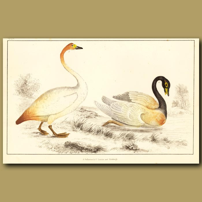 Antique print. Bewick's Swan And Black-Necked Swan
