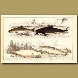 Common Porpoise, Ca'ing Whale, White Whale And Narwhal