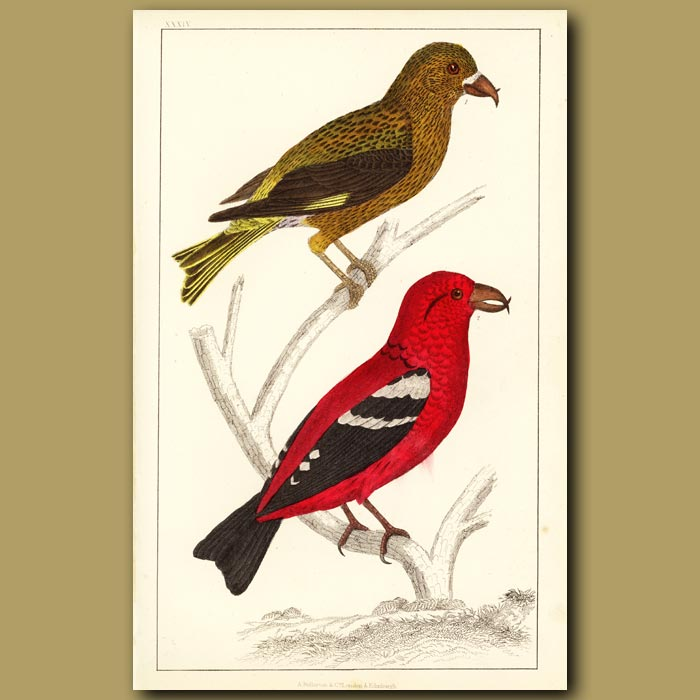 Antique print. American Crossbill And White-Winged Crossbill