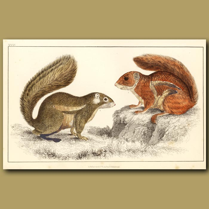 Antique print. Fire-Footed Squirrel And Hottentot Squirrel